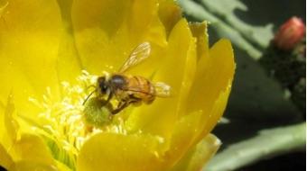 Opunta ficus-indica