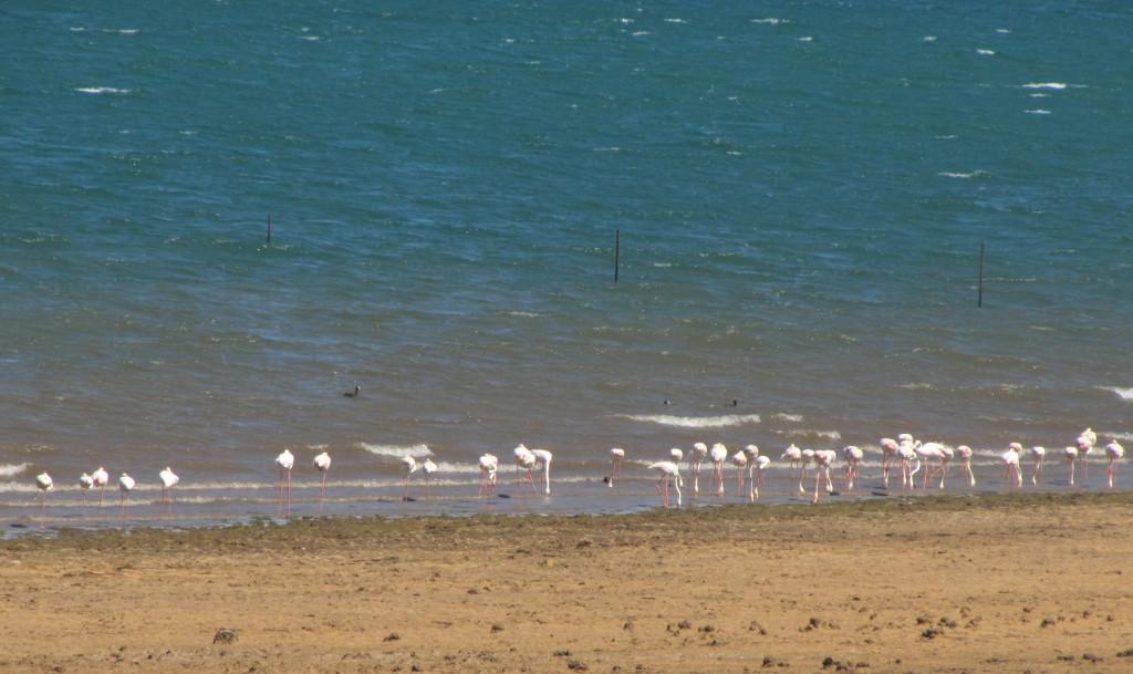 Sterkfontein flamingoes