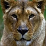 Tours from Clarens Lionsrock Big Cat Sanctuary