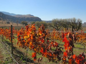 Grape vines at Rose House