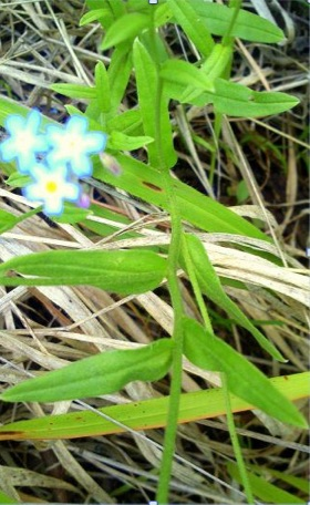 Myosotis semiamplexicaulis. Plants found in the Clarens Village Nature Reserve