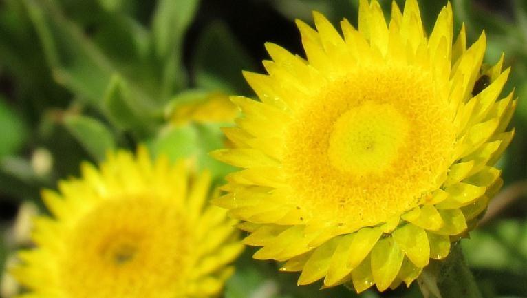 Helichrysum herbaceum