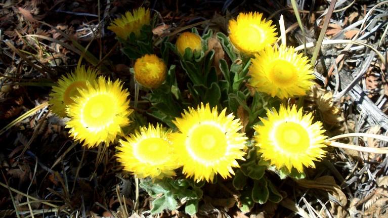 Helichrysum 2