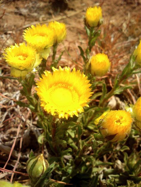 Helichyrsum 3